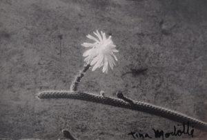 Modotti, untitled (cactus)_LR
