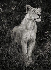 Lioness Against Dark Foliage