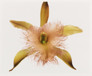 Orchid Irving Penn