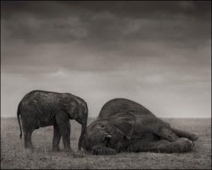 Two Elephants Amboselli Brandt