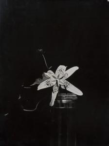 Constantin Brancusi, Lily 1933