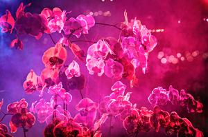 David Drebin, Smokey Orchid