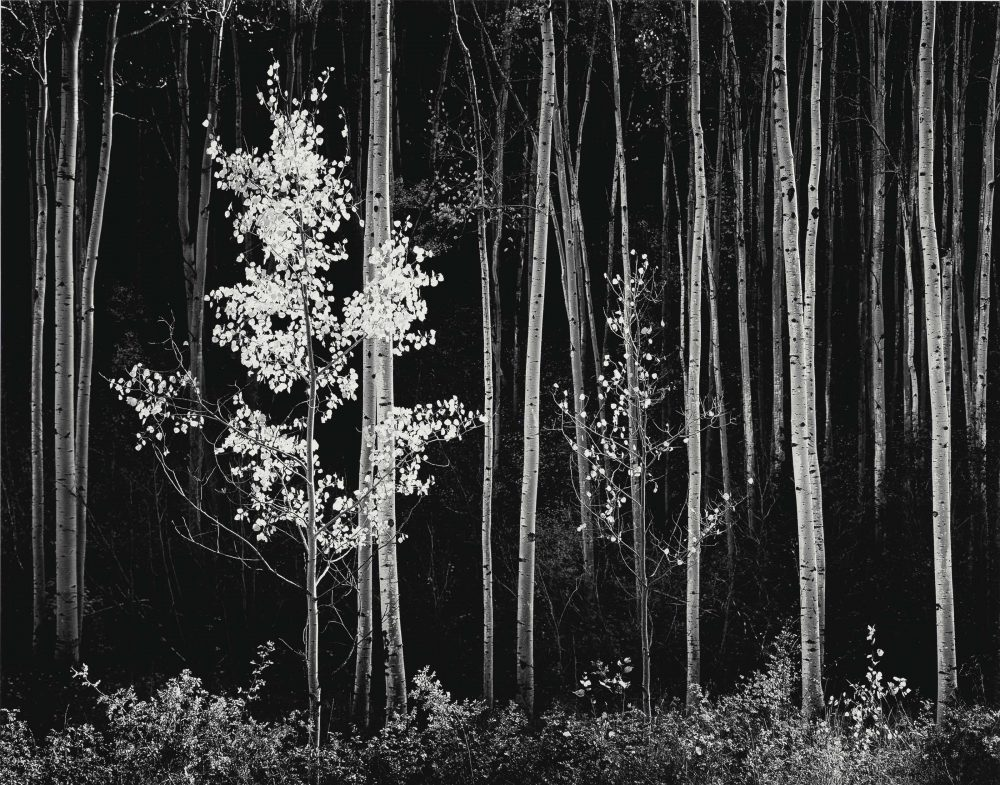 2015_NYR_03726_0218_000(ansel_adams_aspens_northern_new_mexico_1958)